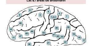Las 47 áreas de Brodmann: nombres y funciones