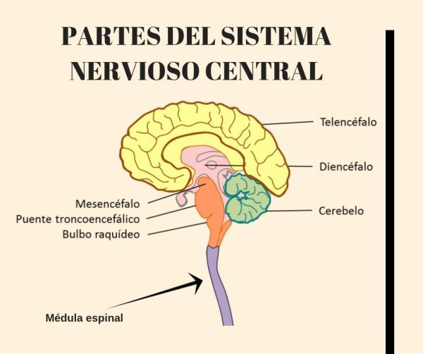 Partes del cerebro y sus funciones - El cerebro y sus partes
