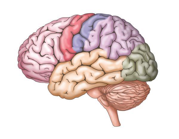 Hemisferios cerebrales derecho e izquierdo: características, funciones y diferencias - Qué son los hemisferios cerebrales