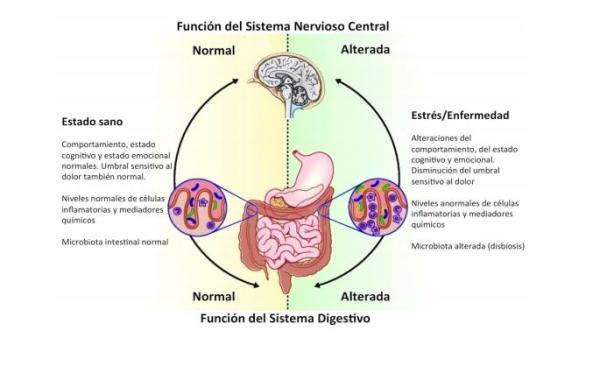 El sistema nervioso entérico y su fisiología - Qué es sistema nervioso entérico: el segundo cerebro