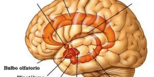 El sistema nervioso 'emocional'