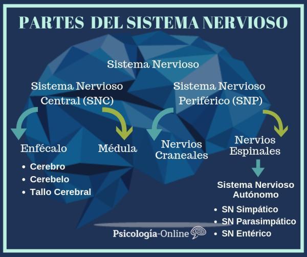 Cómo funciona el sistema nervioso - Qué es el sistema nervioso: definición