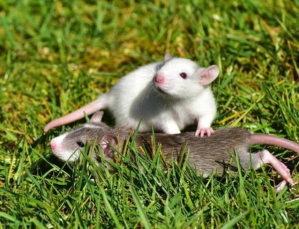 Qué significa soñar con ratas - Qué significa soñar con ratas corriendo