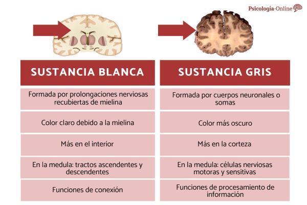 Diferencia entre sustancia gris y blanca del cerebro