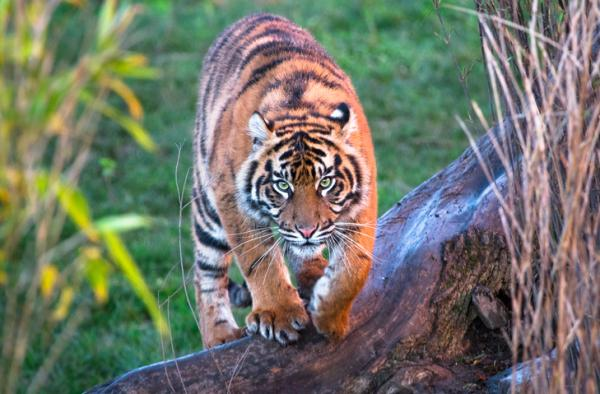 Qué significa soñar con tigres - Qué significa soñar con tigres que te atacan