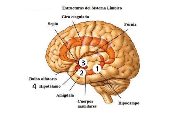 Sistema límbico: partes, funciones y enfermedades - Anatomía del sistema límbico: partes principales