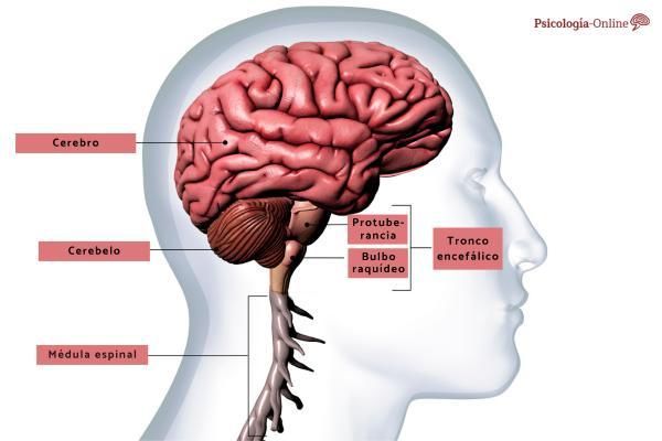 Bulbo raquídeo: qué es, partes, características y funciones