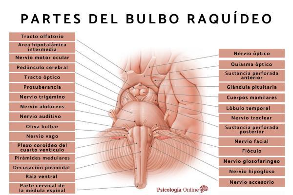 Bulbo raquídeo: qué es, partes, características y funciones - Partes del bulbo raquídeo y características
