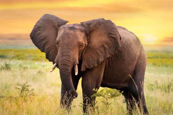 Qué significa soñar con elefantes - Significado de soñar con elefantes grandes