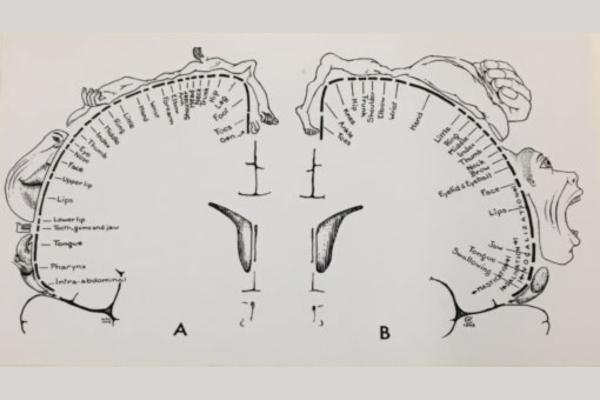 Qué es el homúnculo de Penfield sensorial y motor - Función del homúnculo de Penfield