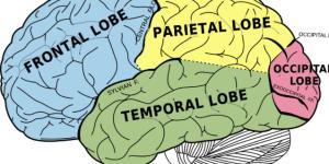 La corteza cerebral: funciones y partes