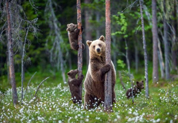 Qué significa soñar con osos