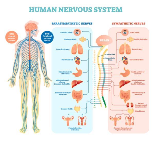 Sistema nervioso simpático y parasimpático: diferencias y funciones - El sistema nervioso autónomo: definición