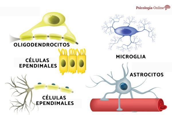 Células gliales: qué son, tipos y funciones - Funciones de la células gliales