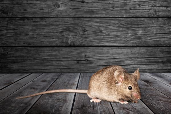 Miedo a los ratones o musofobia: síntomas, causas y tratamiento