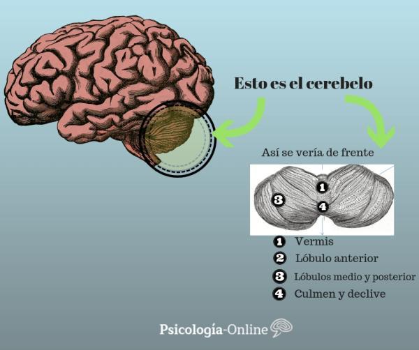 El cerebelo: partes, funciones y enfermedades - Partes del cerebelo