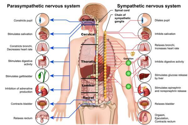 Sistema nervioso autónomo: qué es, partes, funciones y características - Funciones del sistema nervioso autónomo