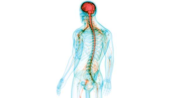 Sistema nervioso autónomo: qué es, partes, funciones y características