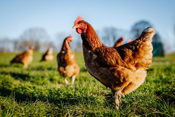 Qué significa soñar con gallinas