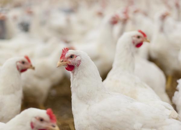 Qué significa soñar con gallinas - Qué significa soñar con gallinas blancas