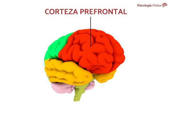 Corteza prefrontal: qué es y qué funciones hace