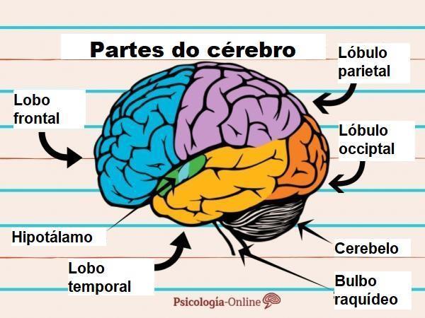 Como funciona o cérebro humano - Partes do cérebro e suas funções