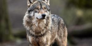 O que significa sonhar com lobos