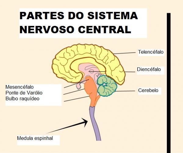 Partes do cérebro e suas funções - Diferença entre cérebro e encéfalo