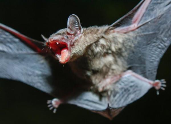 O que significa sonhar com morcego - O que significa sonhar com morcego que ataca