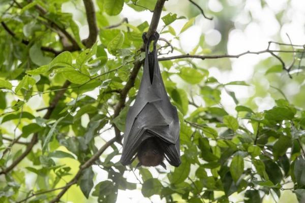 O que significa sonhar com morcego - Sonhar com morcego preto