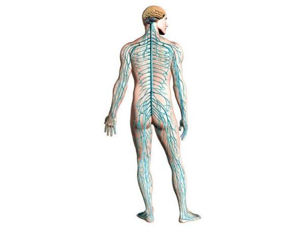 Sistema nervoso somático: o que é e sua função