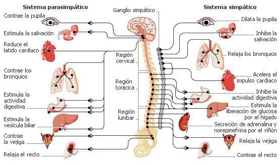 Sistema nervoso simpático e parassimpático: funções e diferenças - Diferenças entre sistema nervoso simpático e parassimpático
