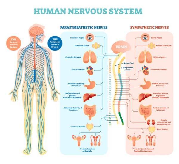 Sistema nervoso simpático e parassimpático: funções e diferenças - Sistema nervoso autônomo: definição