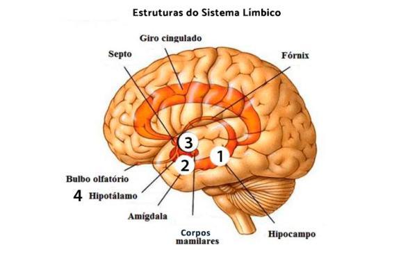 O que é sistema límbico: funções, anatomia e doenças associadas - Sistema límbico: anatomia