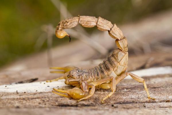 O que significa sonhar com escorpião - O que significa sonhar com escorpião amarelo
