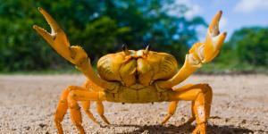 O que significa sonhar com caranguejo