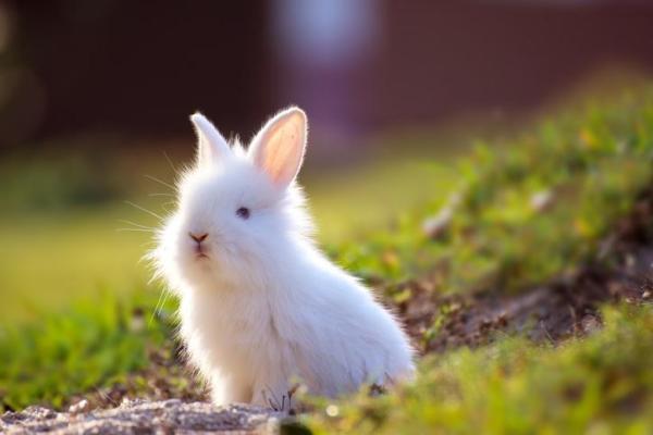 O que significa sonhar com coelho - O que significa sonhar com coelho branco